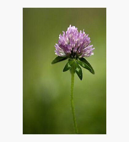 Clover in Springtime Photographic Print