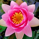 Overhead Of Pink Waterlilly by Sandra Moore
