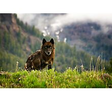 Black Wolf in Yellowstone National Park Photographic Print