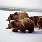 Bear 399 and Cubs of Grand Teton National Park by cavaroc