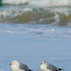 Ring Bill Gulls and Waves, Assateague by Jeff Holcombe