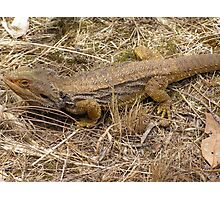 Just Sunbathing! Beaded Dragon In the House Paddock! Photographic Print