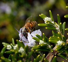 Bee with rosemary 2 by Morgan Wade