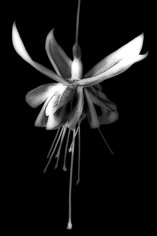 Fuchsia #2 by Jason Green