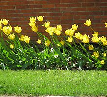 Windy Tulips by Linda Miller Gesualdo
