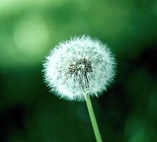 ~ lonely dandelion ~ by andre santoso