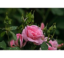 Pink Roses and Buds Photographic Print