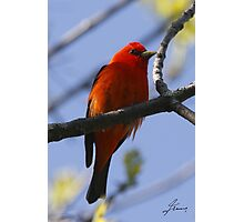 The Scarlet Tanager Photographic Print