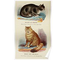 Cats Their Points and Characteristics Gordon Stables 1877 0024 Black and White, Wild Cat Half Breed Poster