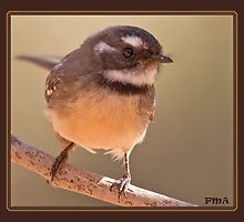 Grey Fantail by rowdier1