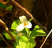 The woods is blooming ! Sign of Peace and Hope by Kelly  McAleer