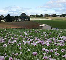 Poppy Farm,Table Cape,Tasmania, Australia. by kaysharp