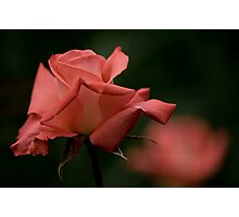 Coral Rose Photographic Print