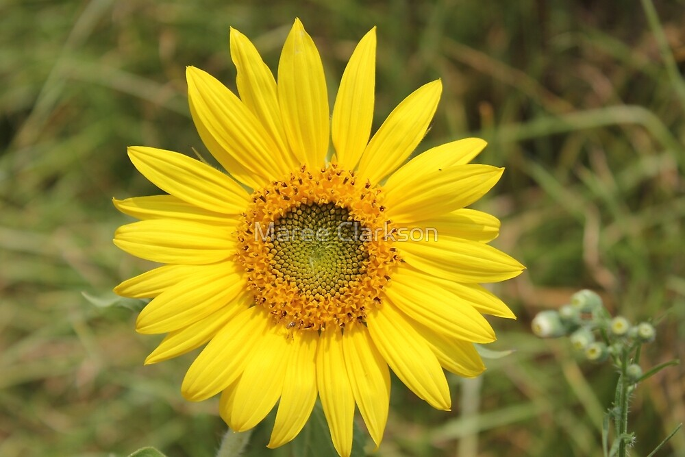 Young Sunflower by Maree  Clarkson