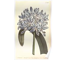 The Botanical magazine, or, Flower garden displayed by William Curtis V13 V14 1799 1800 0155 Aganpanthus Umbellatus African Agapanthus or Blue Lilly Poster