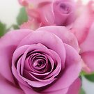 pink rose by iSha