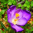 Eye popping Giant Crocus by Elaine Game