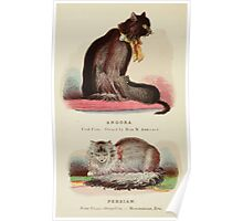 Cats Their Points and Characteristics Gordon Stables 1877 0340 Angora, Persian Poster