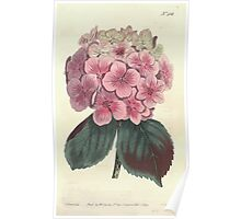 The Botanical magazine, or, Flower garden displayed by William Curtis V13 V14 1799 1800 0014 Hydrangea Hortensis Garden Hydrangea Poster