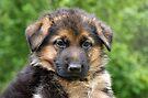 Black & Tan German Shepherd Puppy by Sandy Keeton