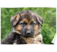 Black & Tan German Shepherd Puppy Poster