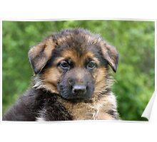Black & Tan German Shepherd Puppy Poster