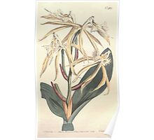 The Botanical magazine, or, Flower garden displayed by William Curtis V13 V14 1799 1800 0074 Epidendrum Ciliare Fringed Epidendrum Poster