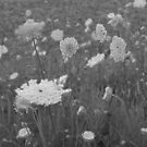 Queen Anne's Lace- B&W by Tracy Wazny