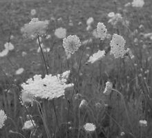 Queen Anne's Lace- B&W by Tracy Faught