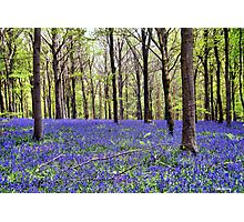 Knee Deep In Bluebells! Photographic Print