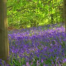 Bluebells at Arger Fen  by AntonyB