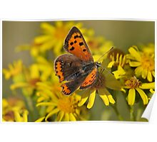 Small Copper Butterfly (Lycaena phlaeas) Poster