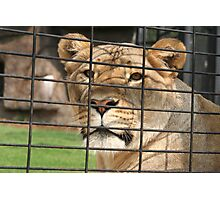 Lioness Looking out of Her Cage Photographic Print