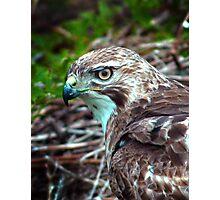 Hawk on his Prey  Photographic Print