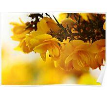 Yellow Gorse Poster
