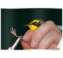 Kentucky Warbler getting banded Poster