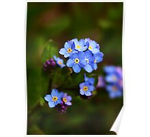 Forget-me-not flowers Poster