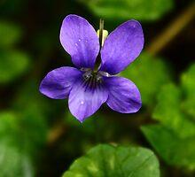 Violet (Viola odorata) in a woodland, Lancashire  by Anne Kingston