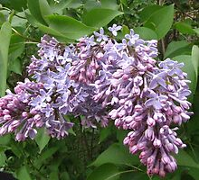 Lilacs are Blooming in New Hampshire!   by maxy