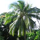 Green coconuts on tree by Camelot