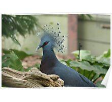 Regal Pigeon Poster