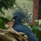 Victoria Crowned Pigeon by Alyce Taylor