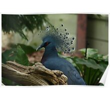 Victoria Crowned Pigeon Poster