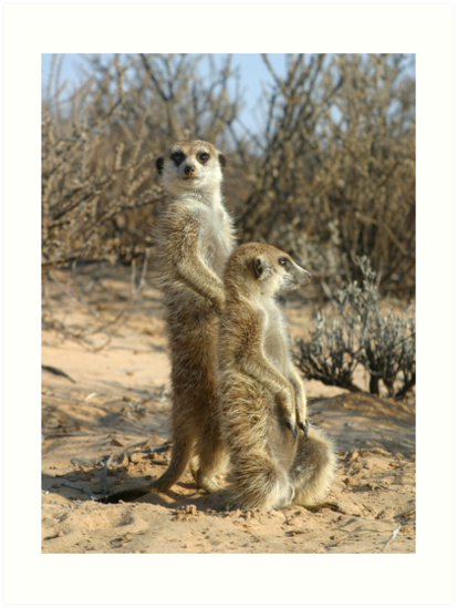 Kalahari meerkats by Anthony Brewer