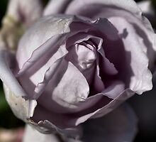 Mauve Rose by Joy Watson