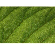 Leaf 0550 Photographic Print