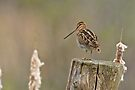 Wilson's Snipe - Ottawa, Ontario by Michael Cummings