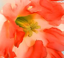 Pink Daffodil by Nancy (Peaches) Harker