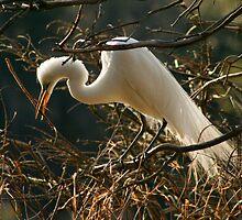 Nesting Egret by Jeff Holcombe