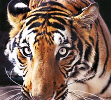 Tiger - focused- hungry by jomtien
